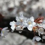 御井学館前、階段から見える桜です